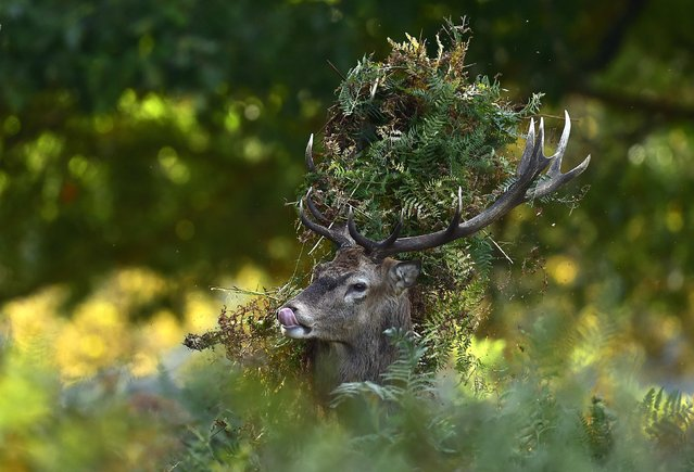 A male red deer with antlers covered in bracken, walks through undergrowth in Richmond Park in south west London, October 3, 2014. Over 600 red and fallow deer roam in the largest of London's Royal Parks, and have their numbers managed in an annual cull each November and February. (Photo by Toby Melville/Reuters)
