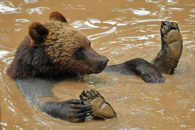 A bear plays in a pool on June 17, 2020, as four European brown bears and five grey wolves which are living together in British woodland for the first time in Bear Wood, a new enclosure at Bristol Zoo's Wild Place project. (Photo by Ben Birchall/PA Images via Getty Images)