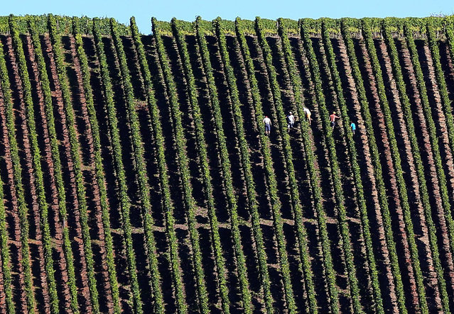 People work in a vineyard on the steep slopes of Escherndorfer Lumps in Escherndorf, Germany, 24 August 2016. With up to 70 degrees, the slope of the vineyard is considered one of the best vineyards of Franconia. (Photo by Karl Josef-Hildenbrand/EPA)