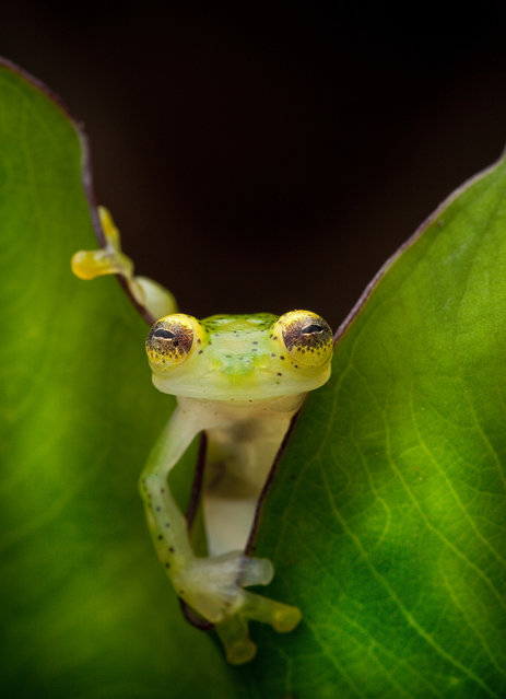 A glass frog, Hyalinobatrachium ruedai, peers through a leaf in the Choco of Colombia as we search for lost frogs. (Photo by Robin Moore)