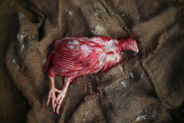 "A dead chicken is seen on the floor of a chicken shop in Palong Khali refugee camp near Cox's Bazar, Bangladesh, October 29, 2017. Rohingya refugee Abul Talek, 65, bought the chicken for one of his sick children. ""I bought this chicken for 150 taka. I think the price is too much for me, a few days ago it was 130 taka and now it has increased 20 taka. I can't go out of the camp to buy chicken, thats why I bought it from here"", he said. The price in Palong Khali refugee camp is 150 taka per chicken. The price in Palong Khali Bazar is 120 taka per chicken. (Photo by Hannah McKay/Reuters)"