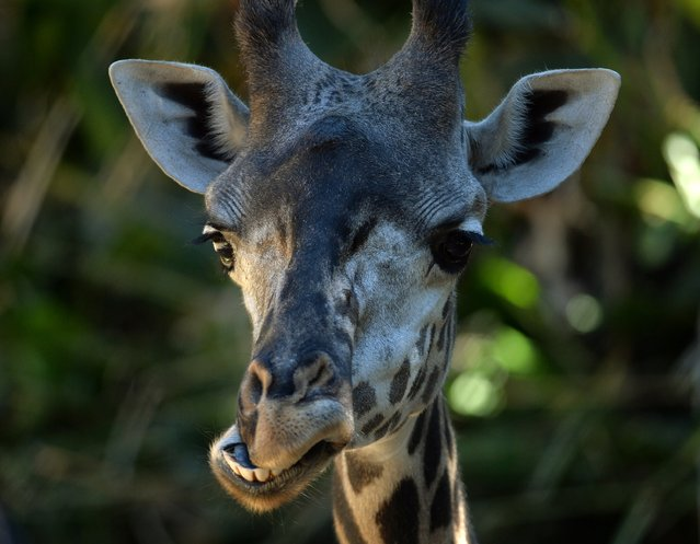 A young giraffe makes a face at the Los Angeles Zoo as another heat wave hits Los Angeles on October 6, 2014.  The zoo, located beside Los Angeles' Griffith Park, is home to 1,100 animals from around the world. (Photo by Mark Ralston/AFP Photo)