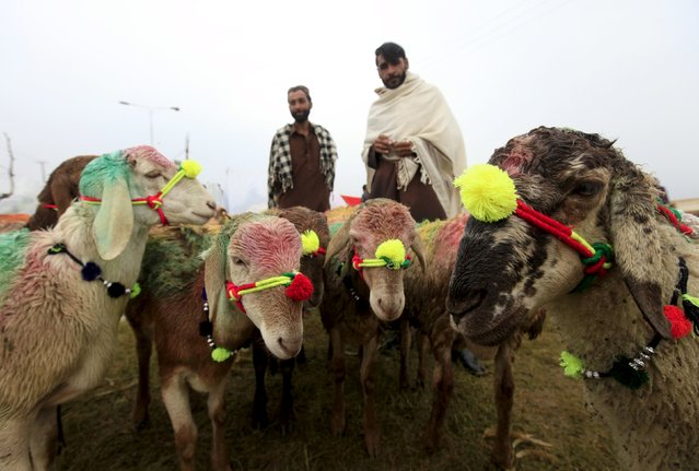 Men look at sacrificial sheep decorated for sale at the animal market on the outskirts of Islamabad, Pakistan, September 22, 2015. (Photo by Faisal Mahmood/Reuters)