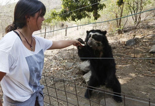 A student gives an apple to a Spectacled bear at the dry forest of the Chaparri Natural Reserve in Peru's northern region of Lambayeque October 19, 2014. (Photo by Mariana Bazo/Reuters)