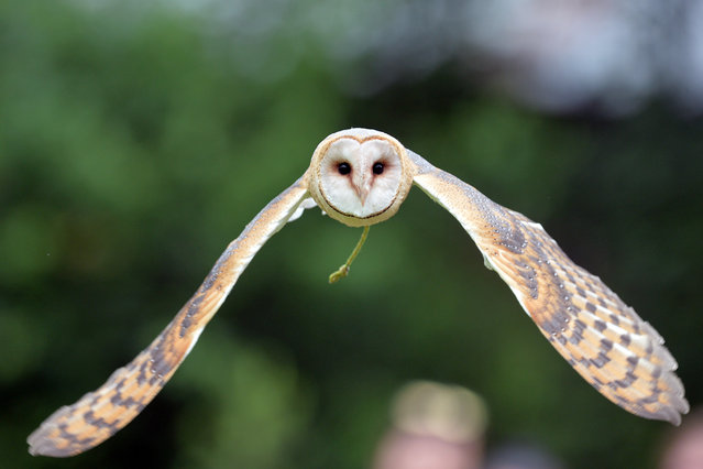 An owl in flight during a display of birds of Prey at Jihlava Zoo, Czech Republic on July 5, 2020. (Photo by Slávek Růta/Rex Features/Shutterstock)