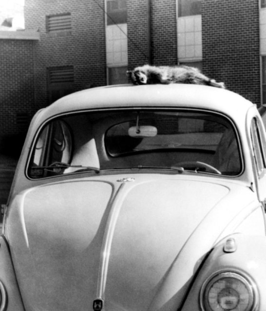 A dead raccoon lies atop the car of James Meredith, the controversial student who is the first black to attend the University of Mississippi in Oxford, December 19, 1962. It was found there prior to Meredith's leaving the campus for the holidays. A U.S. marshal removed it. (Photo by Dale Duckworth/AP Photo)