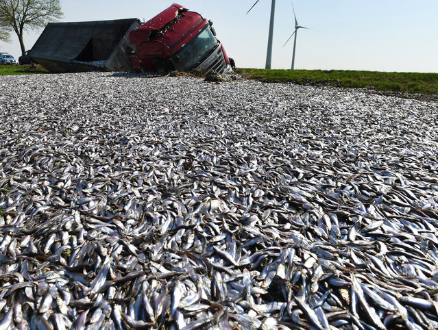 A truck transporting 20 tons of fish lost its load after crashing on a road near Liepen, eastern Germany on April 20, 2018. (Photo by Stefan Sauer/AFP Photo/DPA)