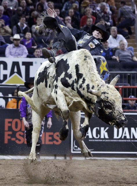 Stormy Wing, from Dalhart, Texas, rides Kujo during the Professional Bull Riders Buck Off, in New York's Madison Square Garden, Saturday, January 17, 2015. (Photo by Richard Drew/AP Photo)