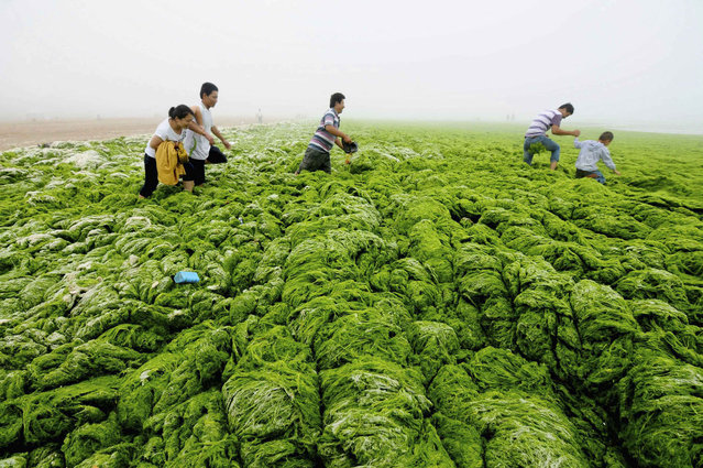 People walk through algae-covered seaside in Qingdao, Shandong province, July 1, 2013. (Photo by Reuters/China Daily)