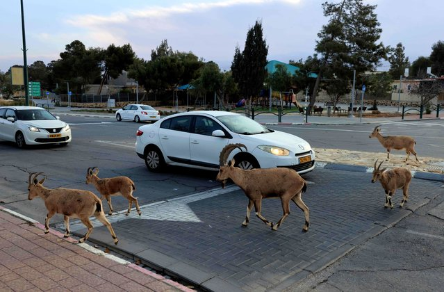 Nubian ibexes walk in a street during a national lockdown due to the Covid-19 pandemic crisis in the southern Israeli city of Mitzpe Ramon in the Negev desert on February 4, 2021. (Photo by Menahem Kahana/AFP Photo)