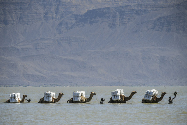 A caravan of camels crosses Gemeri Lake to transport treated mosquito nets to Afambo, some 500km northeast of the capital Addis Ababa, in the remote Afar region, Ethiopia, 14 February 2018 (issued 15 February 2018). US aid agency US Agency for International Development (USAID) in cooperation with Ethiopian government distributed teated mosquito nets to local Afar people as part of its health programme in the country. Afar region is one of the most disadvantaged regions in Ethiopia and is particularly prone to malaria. (Photo by EPA/EFE/Stringer)