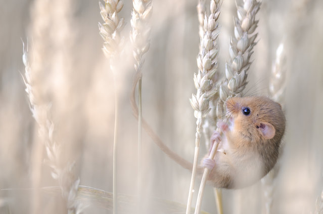 """""""Harvest gold"""". Etienne Francey, Switzerland. Late one July evening, walking slowly along the edge of a wheat field near his village – Cousset, in Switzerland – looking for subjects to photograph, Etienne noticed """"a little ball"""" stuck to an ear of wheat. """"To my surprise"""", says Etienne, """"it was a harvest mouse, nibbling the grain"""". Etienne approached until he was a few meters away and managed to photograph the tiny mouse at various angles before it scuttled back down the wheat stalk. """"The meeting was brief but extraordinary"""", he adds. """"This was my favourite out of all the portraits"""", showing it eating, its prehensile tail helping it to balance. Nikon D7000 + 300mm f4 lens; 1/320 sec at f4 (-0.3 e/v); ISO 500. (Photo by Etienne Francey)"""