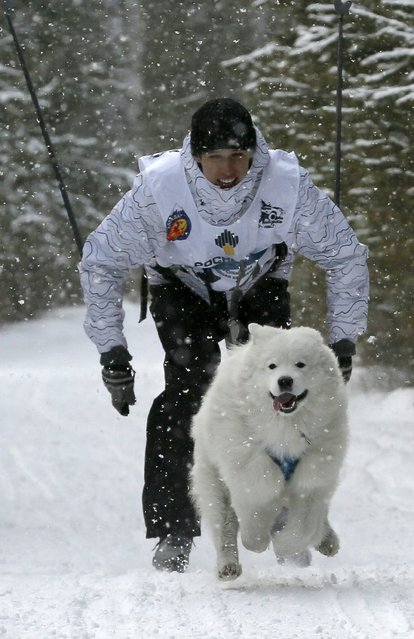 """A contestant is pulled by a Samoyed Laika dog during the """"Kara-Dag 2016"""" open amateur dog sled and skijoring race near the village of Yelovoye in Taiga district, outside Krasnoyarsk, Siberia, Russia, February 21, 2016. (Photo by Ilya Naymushin/Reuters)"""