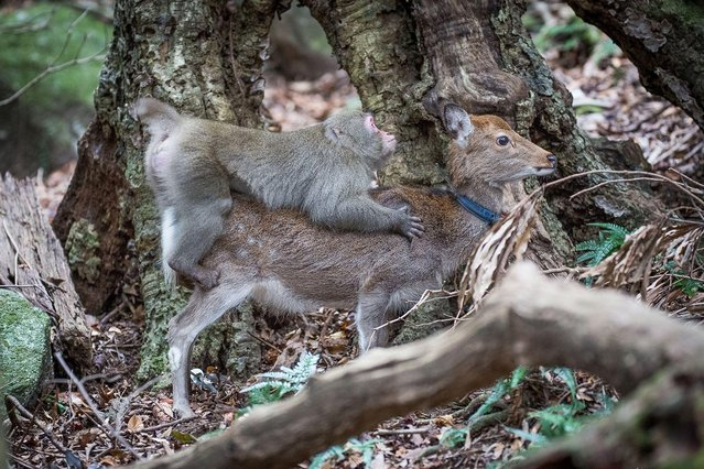 "An undated handout picture released on January 10, 2017 by the Issekinicho publishing house shows an inter- species sexual behaviour between a male Japanese macaque and female sika deer, in Yakushima Scientists revealed on January 10, 2017 the ""highly unusual"" behaviour of a male monkey filmed trying to have s*x with female deer in Japan – a rare case of inter- species nookie. (Photo by Editions Issekinicho/AFP Photo)"