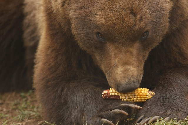 "In this photo taken on Saturday, April, 4, 2015, a bear chews on a corncob at a shelter that attracts hundreds of visitors and volunteers from around the world every year, in Kutarevo, Croatia. Over a decade ago, Ivan Crnkovic-Pavenka, a retired Croatian social worker decided to help bears become ""ambassadors of the wilderness"" among people and set up a unique shelter for brown bears in the idyllic mountain village of Kutarevo in central Croatia, where eight bears currently live in two huge enclosures. (Photo by Amel Emric/AP Photo)"
