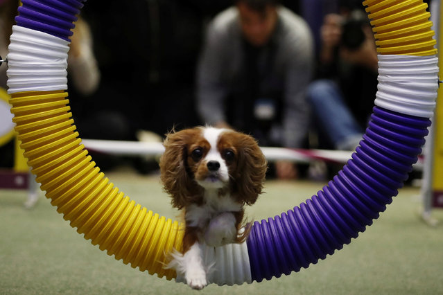 A Cavalier King Charles Spaniel jumps through a hoop during a demonstration of the types of agility tests that will be in this year's Westminster Kennel Club dog show in New York, U.S., January 30, 2017. (Photo by Lucas Jackson/Reuters)