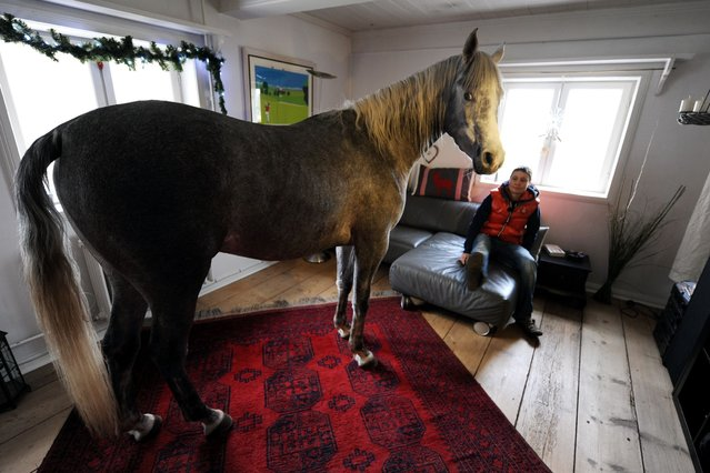 """Stephanie Arndt watches her Arabian horse Nasar enter the living room of her old farm house in Holt, northern Germany on February 10, 2014. The owner of the horse, medical doctor Stephanie Arndt, took the three-year-old inside the house while hurricane """"Xaver"""" swept over the region. Since then Nasar like to stay indoors. (Photo by Carsten Rehder/AFP Photo/DPA)"""