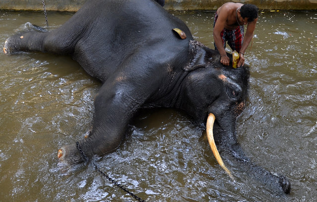 A Sri Lankan mahout washes an elephant in Colombo on August 9, 2018. Sri Lanka on August 8 announced plans to substantially extend electric fencing after marauding elephants killed 375 people in the past five years and villagers retaliated by slaughtering nearly 1,200 of the beasts. (Photo by Lakruwan Wanniarachchi/AFP Photo)