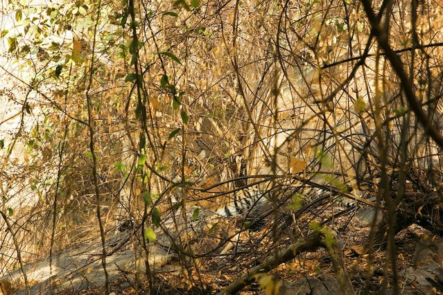 Earning his stripes: Can you spot the tiger? (Photo by Caters News)