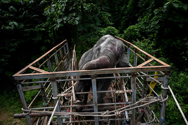 This photo taken on August 3, 2019 shows a veterinarian administering medicine before a wild elephant is released into the Zarmaye nature reserve located in the Bago region. Two wild elephants, which had been foraging villages and a highway for food in Yangon, were caught on August 3 and released into the Zarmaye nature reserve in the Bago region. (Photo by Ye Aung Thu/AFP Photo)
