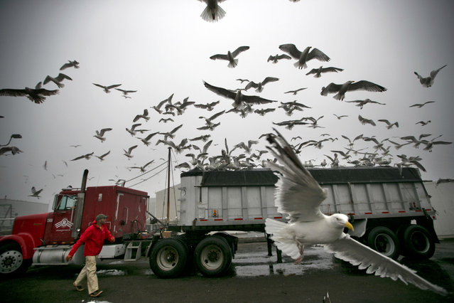 Fisherman Neil Herrick attempts to scare away gulls from a tractor trailer full of fresh herring, Wednesday, July 8, 2015, in Rockland, Maine. The persistent gulls were able to find a gap on the protective covering almost immediately after the truck parked, gaining access to an easy meal. (Photo by Robert F. Bukaty/AP Photo)