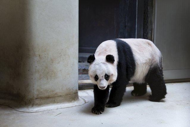 36-years-old giant panda Jia Jia, walks in her enclosure at the Hong Kong Ocean Park, China July 9, 2015. (Photo by Tyrone Siu/Reuters)