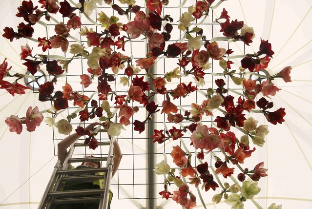 A woman adjusts a display of hippeastrum flowers, suspended from a ceiling, during preparations for the RHS Chelsea Flower Show in London, Britain May 21, 2016. (Photo by Neil Hall/Reuters)