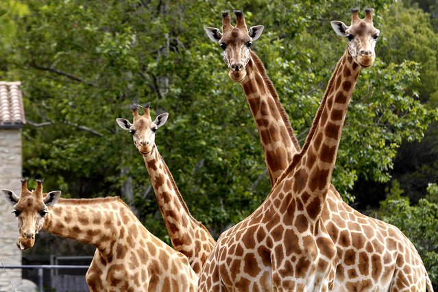 Giraffes stand in their enclosure at the African Reserve (Réserve Africaine ) of Sigean, southern France on May 24, 2016. (Photo by Raymond Roig/AFP Photo)