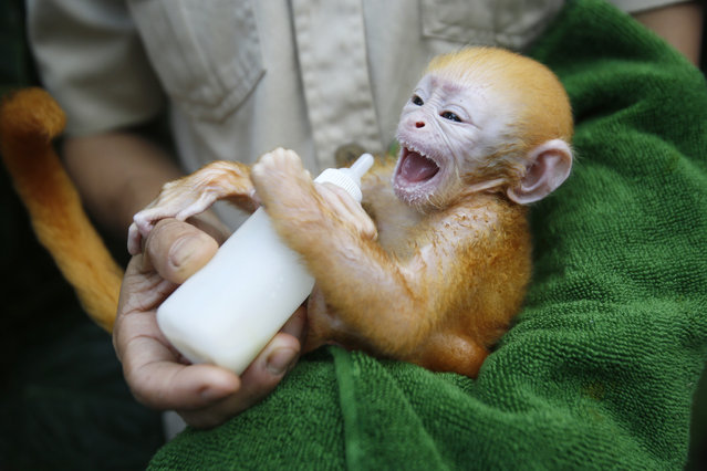 A week old baby Javan Langur monkey (Trachypithecus auratus) is fed by a zoo keeper at a nursery at the Bali Zoo in Gianyar, Bali, Indonesia, June 19, 2014. The Javan Langur is found on and endemic to the island of Java, Indonesia. (Photo by Made Nagi/EPA)