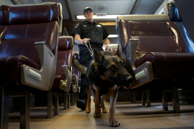 Metropolitan Transit Authority (MTA) Police Officer Kevin Pimpinelli works with his K-9 partner Johnny, a German Shepherd, during a simulated bomb search aboard a dedicated Metro-North Railroad commuter train car permanently installed for training at the new MTA Police Department Canine Training Center in Stormville, New York, U.S., June 6, 2016. (Photo by Mike Segar/Reuters)