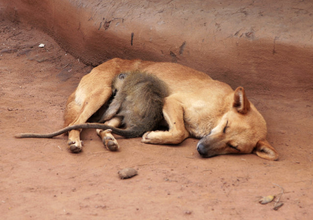 A monkey sleeps next to a dog at Lacor camp for internally displaced persons in northern Uganda June 8, 2007. (Photo by Euan Denholm/Reuters)