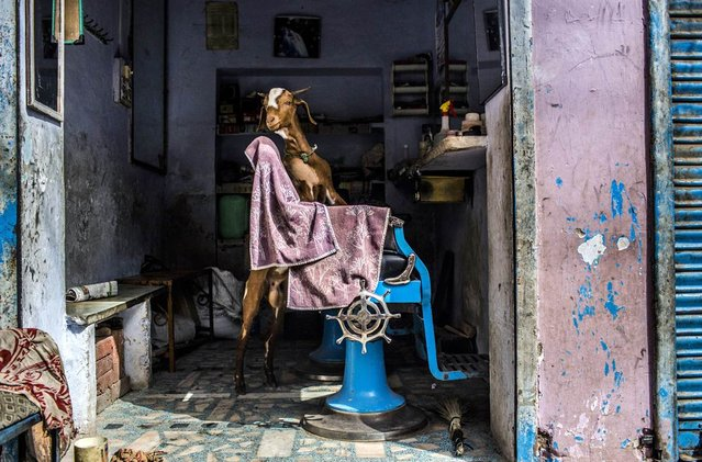 A goat stands inside a barber shop on a road leading to the shrine of Sufi saint Muhammad Moin-ud-din Chisti on May 22 in Ajmer, India