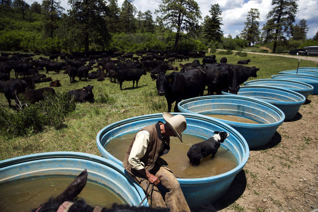 Cowboy David Thompson sits with his dog, Amelia, as she cools down after a day of gathering cattle near Ignacio, Colorado June 12, 2014. (Photo by Lucas Jackson/Reuters)