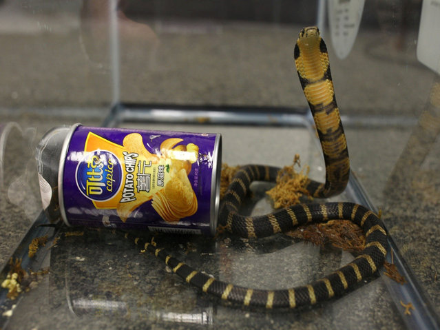 A king cobra snake seen coming out of container of chips in this udated handout photo obtained July 25, 2017. (Photo by Reuters/United States Attorney's Office Central District of California)