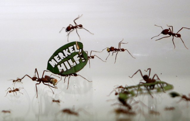 """Ants carry a leaf with a slogan reading """"Merkel, Help!"""", a reference of German Chancellor Angela Merkel, at the zoo in Cologne, Germany August 18, 2015. (Photo by Ina Fassbender/Reuters)"""