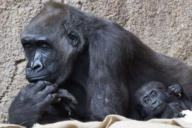 Baby gorilla Diara relaxes besides its mother Kumili at the Zoo in Leipzig, Germany, Tuesday, August 5, 2014. Diara was born during the night between March 10 and 11, 2014. (Photo by Jens Meyer/AP Photo)