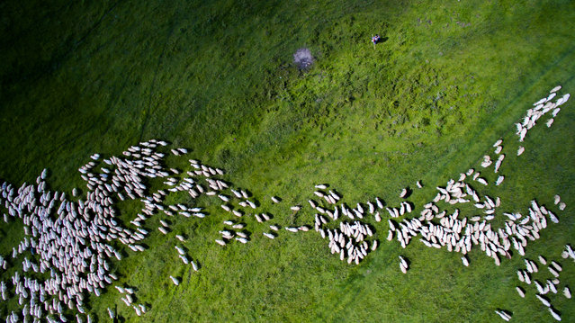 A flock of sheep in Romania placed second in nature and wildlife photos. (Photo by Szabolcs Ignacz)