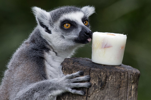 A lemur licks a block of frozen yogurt and fruit to refresh itself in Rome's Bioparco zoo, Wednesday, July, 13, 2016. (Photo by Andrew Medichini/AP Photo)