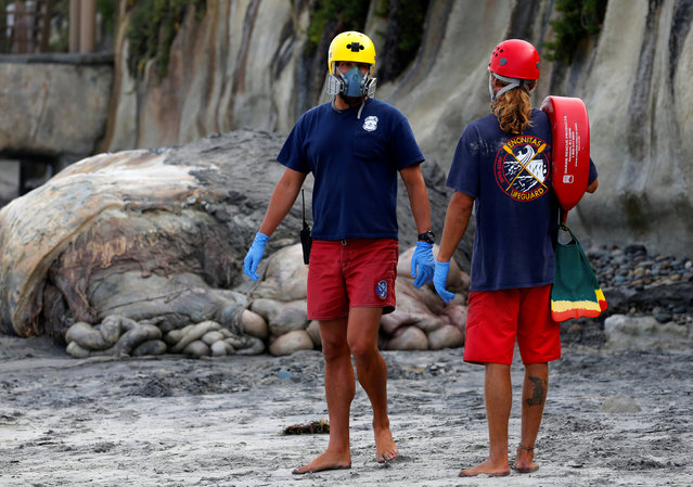Encinitas lifeguards wear masks as they work to remove the carcass of a large humpback whale that washed ashore in Leucadia, California, United States, July 18, 2016. (Photo by Mike Blake/Reuters)