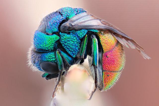 Sleepy Jewel. Holopyga generosa. Family: Chrysididae (ID-cred: Johan Abenius & Frank Marquard). Size: 7 mm.