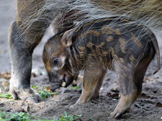 Red river hog baby Tonka stands near its mother on September 18, 2012, at the Zoologischer Garten in Berlin. (Photo by Ole Spata/AFP)