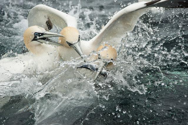 Three gannets fight for a fish, 2014, in Shetland, Scotland. (Photo by Richard Shucksmith/Barcroft media)