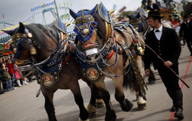 A man walks along traditionally decorated horses pulling a cart during the Oktoberfest parade in Munich, Germany, September 20, 2015. (Photo by Michael Dalder/Reuters)