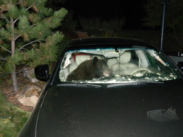 In this October 6, 2014 photo provided by the Douglas County Sheriff's Office, a black bear tears apart a car interior while trying to escape the vehicle after foraging for food inside, in Castle Pines, Colo. (Photo by AP Photo/Douglas County Sheriff's Office)