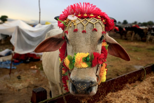 A sacrificial bull decorated for sale stands at its feed trough at the animal market on the outskirts of Islamabad, Pakistan, September 22, 2015. (Photo by Faisal Mahmood/Reuters)