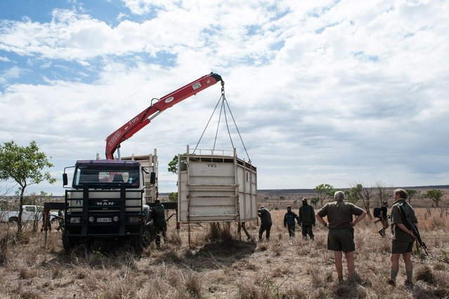 Members of the Kruger National Park Veterinary Wildlife Services in South Africa loads a container containing a rhinoceros on the back of a transport truck in the Kruger National Park during a relocation capture on October 17, 2014. (Photo by Stefan Heunis/AFP Photo)