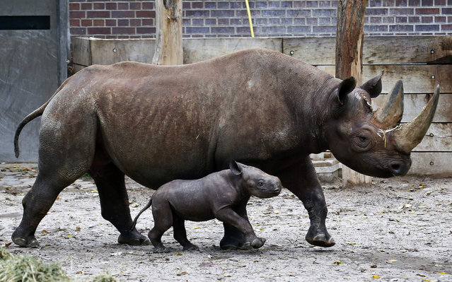"""A ten-day old male rhinoceros calf stands next to its mother """"Kumi"""" in their enclosure at the zoo in Berlin, October 24, 2014. The baby rhino, who is yet to be named, is its mother's second offspring. (Photo by Fabrizio Bensch/Reuters)"""