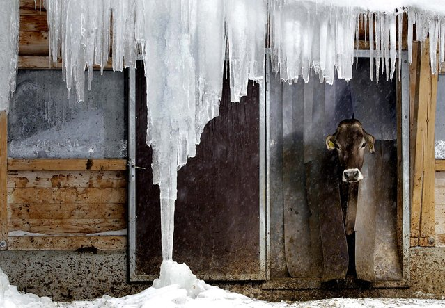 A cow looks out of its stable behind icicles in Davos, Switzerland. (Photo by Arno Balzarini/Keystone)
