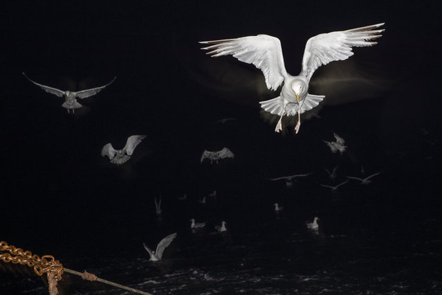 Gulls follow the boat while fishing for flatfish such as Skate and Dover Sole in the English Channel from a Hastings fishing boat on August 10, 2020 in Hastings, England. (Photo by Dan Kitwood/Getty Images)