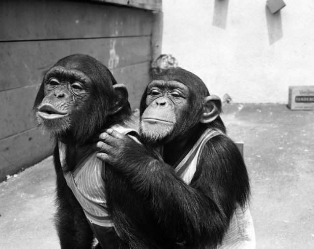 """Harry, right, the chimpanzee actor of the """"Tarzan"""" films, and his side-kick, Jimmy, try to look-pretty-please for a close-up shot, in Hollywood, Calif., on July 26, 1948. (Photo by Ellis Bosworth/AP Photo)"""
